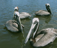 The Flock. Group of pelicans waiting for a handout.  Taken in Cedar Key, Florida Stock Image