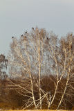 Flock of grouse. Siberia, Russia. Flock of grouse on the tree. Siberia, Russia Royalty Free Stock Photography