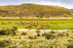 Flock of Guanaco grazing in the field Stock Photography