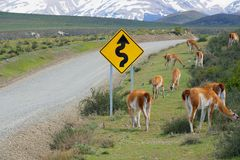 Flock of guanacos Lama guanicoe graze at the roadside in Torres del Paine National park, Patagonia, Chile. stock photos