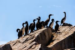 Guanay Cormorants in the Islas Ballestas, Paracas Peninsula, Per. Flock of Guanay Cormorants in the Islas Ballestas, Paracas Peninsula, Peru Royalty Free Stock Photos