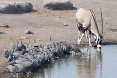 Flock of guineafowl drinking. Etosha National Park Namibia, Africa flock of guineafowl drinking Stock Photos