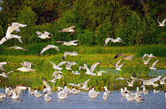 Flock of gulls Royalty Free Stock Photography