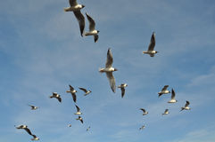Flock of Gulls Stock Photos