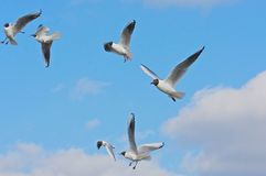 Flock of Gulls Stock Photography