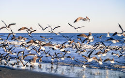 Flock of Gulls Royalty Free Stock Image