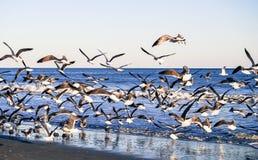 Flock of Gulls Royalty Free Stock Image