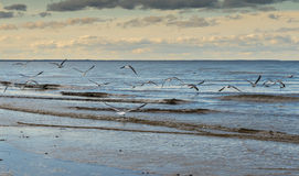 Flock of gulls at a beach of the Baltic Sea Stock Images