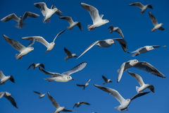 Flock of gulls. Crowd of seagulls flying in a blue sky Royalty Free Stock Photo