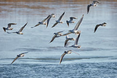 Flock of gulls in flight Royalty Free Stock Photos