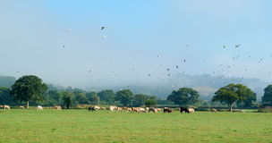 Flock of gulls flying above cows Stock Photography