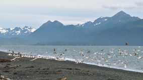 Flock of gulls flying from beach with mountain stock video footage