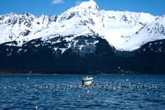 Flock of Gulls in Front of Mountain in Alaska Stock Photography