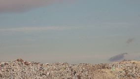 Flock of gulls over landfill garbage dump stock video footage