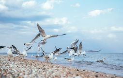 Flock of gulls on a sandy beach in Los Angeles, California. Flock of white gulls on the sandy beach of the Pacific Ocean in Los Angeles, California. A deserted stock photos