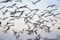 Flock of gulls. Flock of seagulls flying in gray sky Royalty Free Stock Photos