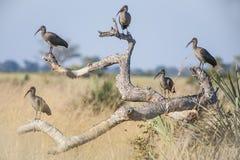 Flock of Hadada Ibis Roosting on Dead Tree Stock Image