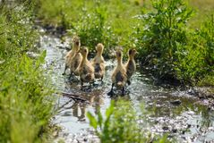 A bunch of fluffy little ducks. A flock of hairy ducks, foraging in the grass, flowing through a stream, a pastoral view Stock Images