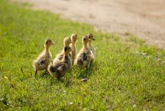 A bunch of fluffy little ducks. A flock of hairy ducks, foraging in the grass, flowing through a stream, a pastoral view Royalty Free Stock Photos