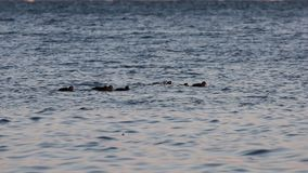 Flock of harlequin ducks Histrionicus histrionicus swimming in icy cold sea water in sunset light. Group of wild diving ducks in