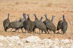 Helmeted Guineafowl. A flock of Helmeted Guineafowl in Namibian savanna Stock Image