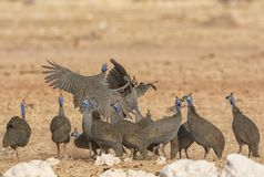 Helmeted Guineafowl. A flock of Helmeted Guineafowl in Namibian savanna Royalty Free Stock Photos
