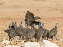 Helmeted Guineafowl. A flock of Helmeted Guineafowl in Namibian savanna Royalty Free Stock Photography
