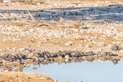 Flock of helmeted guineafowl at a waterhole. A flock of helmeted guineafowl Numida meleagris, with their reflections visible in a waterhole in Northern Namibia Stock Photo