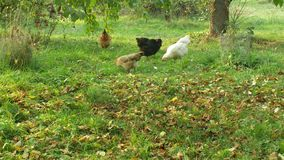 Flock of hens, Araucan, other breeds of Leghorn others, breeding in extensive natural conditions, hens are stress free. Flock of hens, one Araucan, other breeds stock video