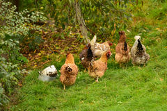 Flock of hens outdoor royalty free stock photo