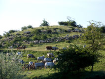 Flock and herd on hillside Stock Photography
