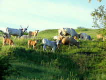 Flock and herd on hillside Royalty Free Stock Image