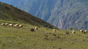 A flock herd of multicolored sheep in the mountains Altai. A flock herd of multicolored sheep in the mountains Royalty Free Stock Photography