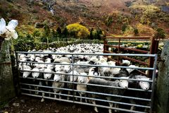 Flock of Herdwick Sheep. All penned up Stock Images