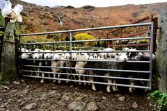 Flock of Herdwick Sheep. All penned up Stock Image