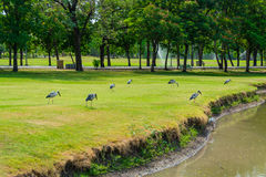 Flock of herons in the public park of Thailand Stock Photography