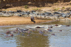 Flock of Hippos Royalty Free Stock Images