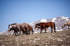 Flock of horses Royalty Free Stock Image