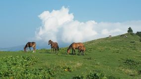 Flock of horses are grazing on green hill of Carpathians mountains. Very long shot. Blue sky with big white clouds stock footage