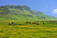 Flock of horses at the meadow. Horse herd pasture at green meadow in Iceland Stock Image