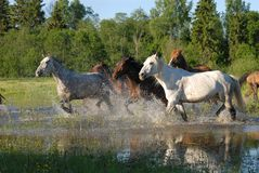 Flock of horses in splashes Royalty Free Stock Photo