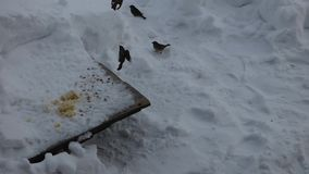 Flock of house sparrows eating grains and fly around feeder stock video