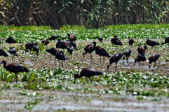 Flock of ibis birds (Plegadis falcinellus) Royalty Free Stock Photo
