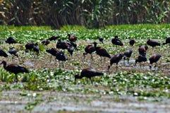 Flock of ibis birds (Plegadis falcinellus) Royalty Free Stock Photo