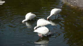 Flock of ibis Royalty Free Stock Image