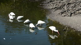 Flock of ibis Royalty Free Stock Photography