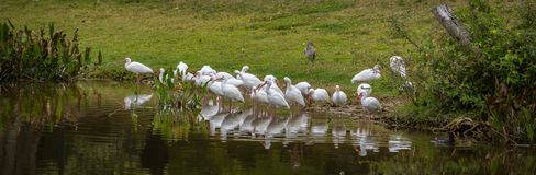 Ibises All in a Row Reflecting in a Pond stock photo