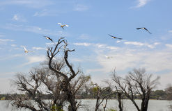 Flock of Ibises in Flight stock images