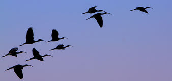 Flock of Ibises. Flying over the city of Aswan south of Egypt Stock Image