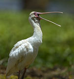 A flock of Ibises royalty free stock image